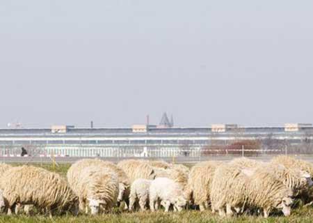 Schaftag auf dem Tempelhofer Feld